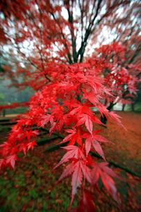 土津神社女坂の紅葉の素材 [FYI00269699]
