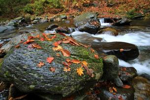 紅葉川渓谷、岩の上の落ち葉の素材 [FYI00269718]