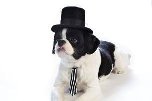 正装した犬の写真素材 [FYI00269786]