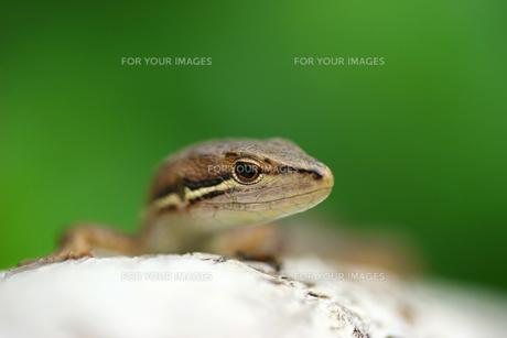 カナヘビの写真素材 [FYI00269875]