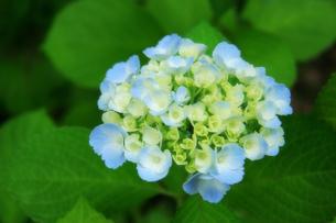 咲き始めた紫陽花の素材 [FYI00269879]