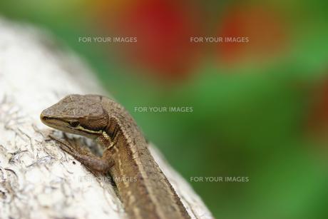 カナヘビの写真素材 [FYI00269885]