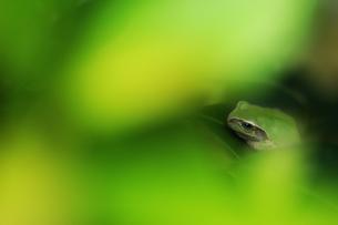 隠れるアマガエルの写真素材 [FYI00269889]