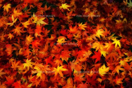 紅葉 落ち葉の素材 [FYI00269893]