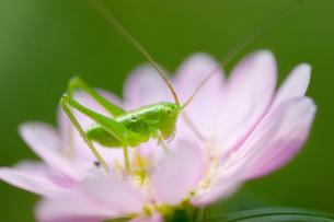 ヤブキリの幼虫の写真素材 [FYI00269894]