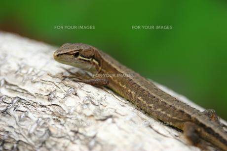 カナヘビの写真素材 [FYI00269899]