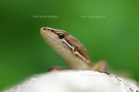 カナヘビの素材 [FYI00269900]