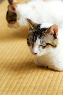 三毛猫のお昼寝の写真素材 [FYI00269916]