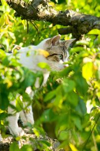 野良 三毛猫の写真素材 [FYI00269927]