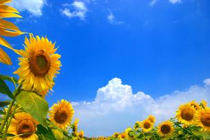入道雲と向日葵の素材 [FYI00269929]