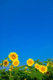 青空と向日葵の素材 [FYI00269934]