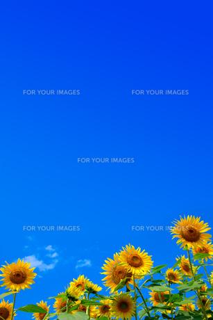 青空と向日葵の素材 [FYI00269936]