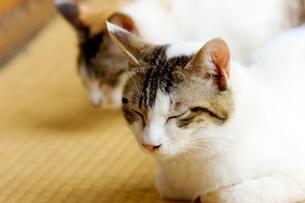 三毛猫のお昼寝の写真素材 [FYI00269937]
