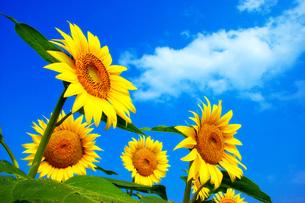 向日葵と青空の素材 [FYI00269939]