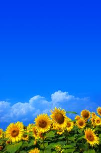 青空と向日葵の素材 [FYI00269941]