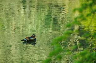 新緑の中を泳ぐオシドリの写真素材 [FYI00270006]