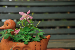オダマキの花の写真素材 [FYI00270047]