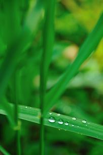 笹の葉の上の水玉の写真素材 [FYI00270062]