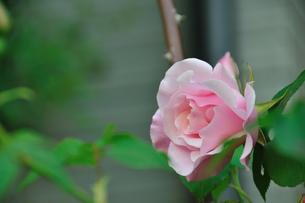 羽衣薔薇の写真素材 [FYI00270126]