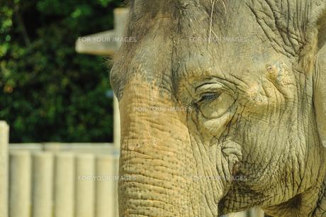 ゾウの写真素材 [FYI00270139]