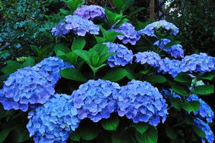 庭のアジサイの写真素材 [FYI00270209]