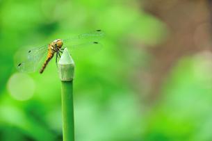庭のシオカラトンボの写真素材 [FYI00270283]