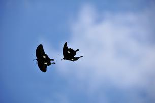 クロアゲハの飛翔の写真素材 [FYI00270343]