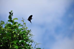 沖ノ島海浜公園のクロアゲハチョウの写真素材 [FYI00270351]