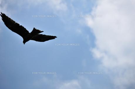 沖ノ島海浜公園のトビの写真素材 [FYI00270358]