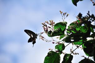 沖ノ島海浜公園のクロアゲハチョウの写真素材 [FYI00270363]