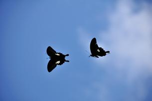 沖ノ島海浜公園のクロアゲハチョウの写真素材 [FYI00270364]