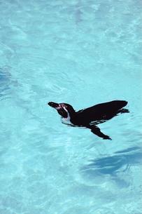 ペンギンの写真素材 [FYI00270378]