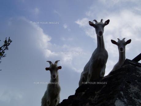 島の住人はヤギだったの写真素材 [FYI00270384]