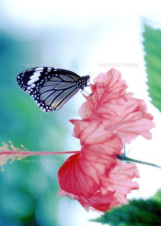 蝶の素材 [FYI00270436]