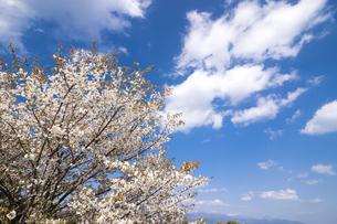 満開の山桜の花と空の写真素材 [FYI00270616]