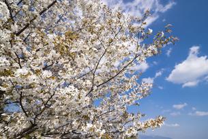 満開の山桜の花の写真素材 [FYI00270621]