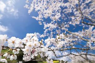 満開のソメイヨシノの花と木の写真素材 [FYI00270622]