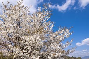 満開の山桜の花と青空の写真素材 [FYI00270623]