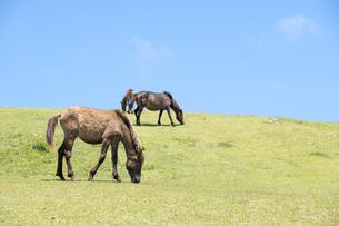 草を食む都井岬の若い馬の写真素材 [FYI00270627]