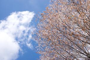 満開の山桜の花と空と雲の写真素材 [FYI00270633]