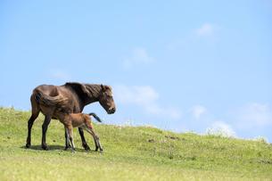 授乳中の都井岬の馬の親子の写真素材 [FYI00270638]