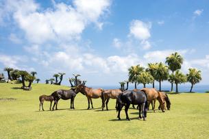 都井岬の海辺の馬たちの写真素材 [FYI00270649]