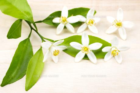 甘夏みかんの花の素材 [FYI00270665]