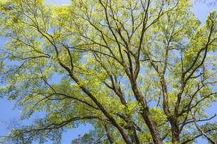 ハルニレの大木の写真素材 [FYI00270672]