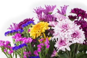 カラフルな菊とハナハマサジの花々の写真素材 [FYI00270704]