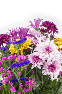 カラフルな菊とハナハマサジの花々の写真素材 [FYI00270716]