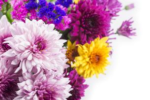 カラフルな菊とハナハマサジの花々の写真素材 [FYI00270717]