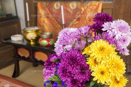 仏前の菊の花々の写真素材 [FYI00270719]