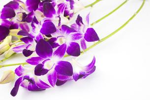 紫のデンドロビウムの花の写真素材 [FYI00270747]