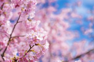 河津桜の花の写真素材 [FYI00270749]
